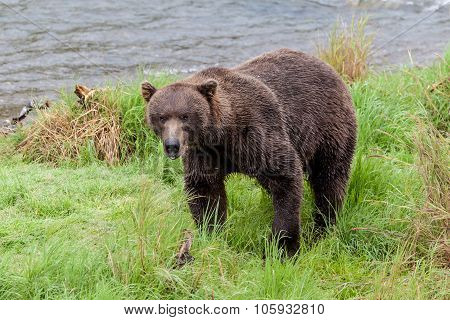 Brown bear looking at camera