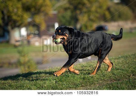 rottweiler dog running outdoors
