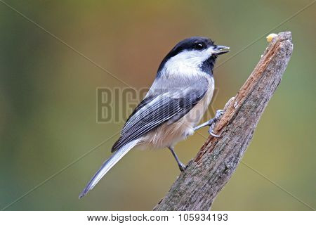 Fall Chickadee
