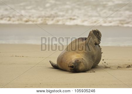 Australian Sea Lion,sa, Kangaroo Island