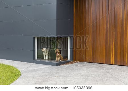 A colour photograph of a white dog and a brown dog waiting in front of a low window at a house
