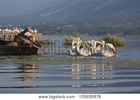 Kerkini, Greece - June 3 2011:  Fisherman feeding the Dalmatian Pelicans in northern Greece