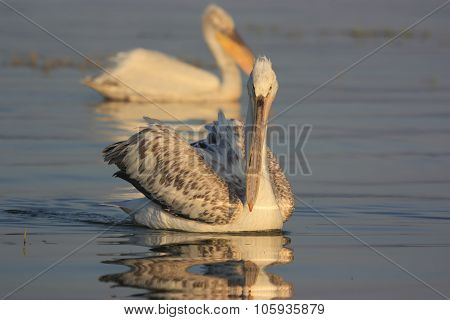 Dalmatian Pelicans Of Lake Kerkini