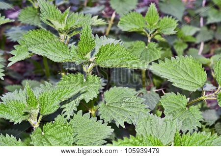 Leaves Of Stinging Nettle