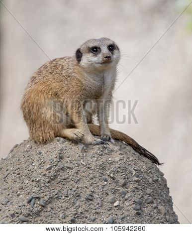 Slender-Tailed Meerkat (Suricata suricatta)