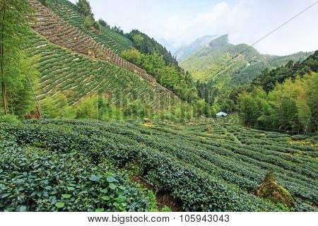 Oolong Tea Plantation In Taiwan