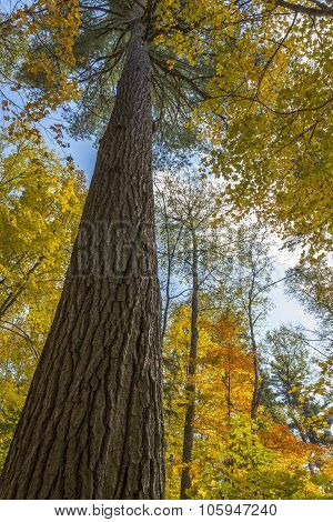 Old Growth White Pine Tree Growing In A Maple Forest In Autumn - Ontario, Canada