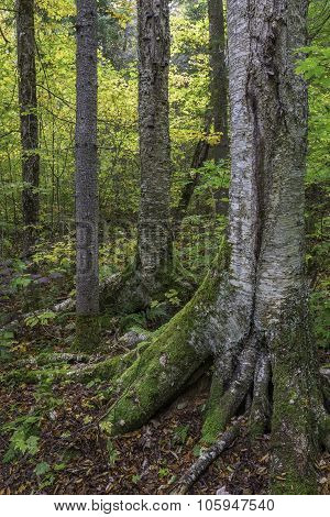 Yellow Birch Trunk
