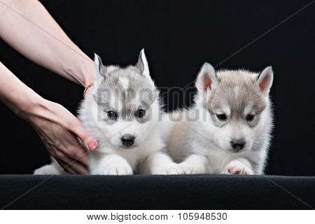 Two Little cute puppy of Siberian husky