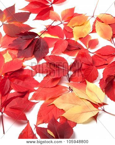 Scattered Autumn Red Leaves On White Background