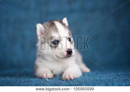 A beautiful Husky puppy with pretty blue eyes