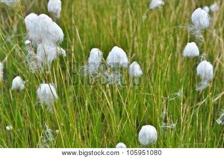 Cotton Grass On The Taimyr Peninsula.