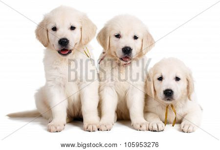 Three white Labrador puppy on white background
