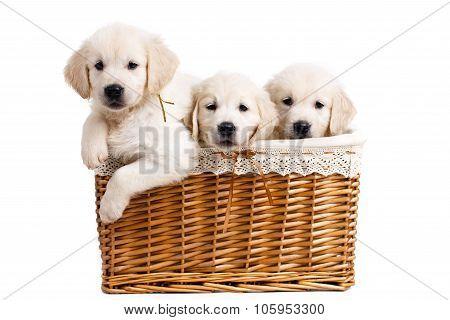 Three white Labrador puppy in a wicker basket