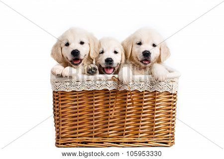 Three white Labrador puppy in a wicker basket