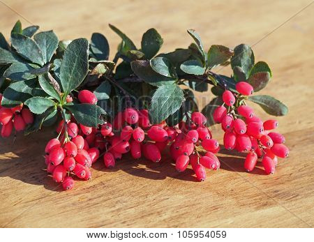 Ripe berries of barberry on sprigs