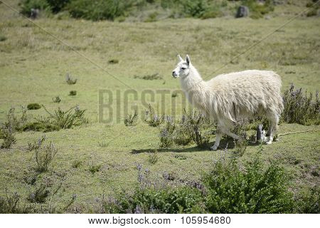 White llama on the field.