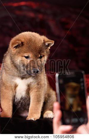 dog breed Shiba Inu puppy