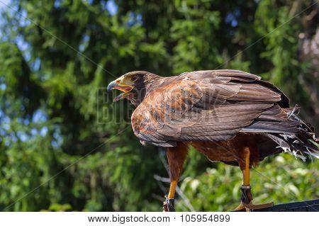 Big and powerful bird of prey hawk