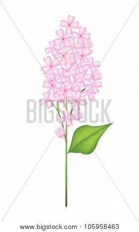 Pink Lilac Or Syringa Vulgaris On White Background