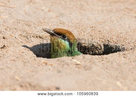 Böhm's Bee-eater (merops Boehmi) Chick Poking Out Of The Nest Hole