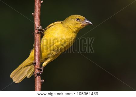 Large Golden Weaver (ploceus Xanthrops) Juvenile Perched On A Sapling