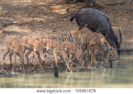 Mixed Group Of Impala (aepyceros Melampus) And (nyala (tragelaphus Angasii) Drinking Together At A W