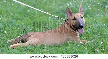 Miniature Bull Terrier On A Green Grass Lawn