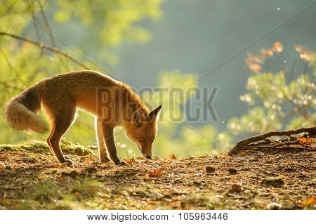 Sniffing Red Fox In Beauty Autumn Backlight