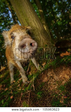 Sniffing Wild Boar Snout From Closeup View