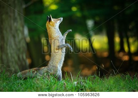 Red Fox Standing On Hind Legs In Forest