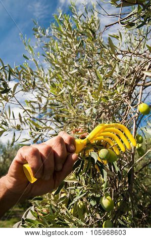 Yellow olive rake and the hand of an olive picker