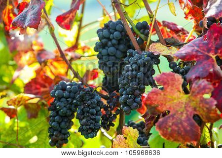Red Bunch Of Grapes