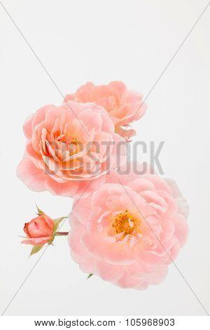 Peach pink garden roses