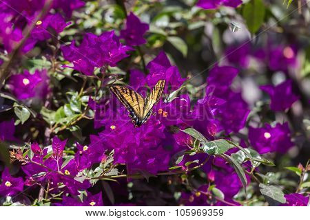 Two Tailed Tiger Swallowtail