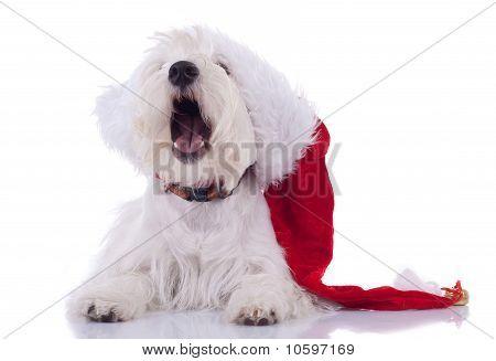 Sleeppy Westie Wearing Santa Cap