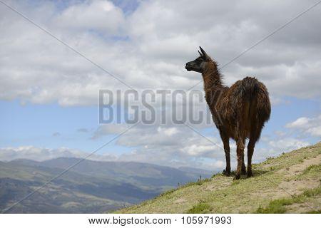 Brown llama on the field.