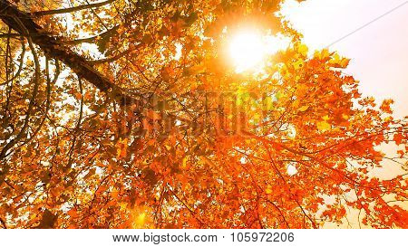 Orange Glowing Sycamore Fall Leaf Foliage with Sunshine.