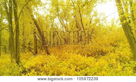 Bright Yellow Fall or Autumn Overgrowth with Trees.