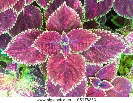 Maroon Coleus Plant