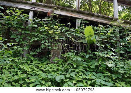 Vines Climbing the Boardwalk
