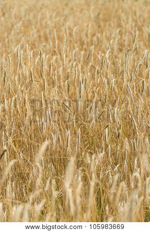 Wheat Field (close-up Shot)