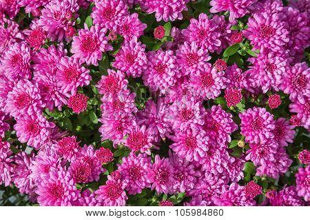 Pink Mums Or Chrysanthemums Flower Background