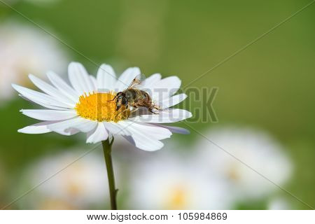 Bee Pollinating White Daisy Or Camomile Flowers On The Meadow