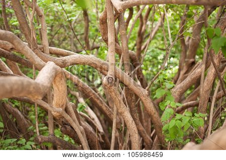 Branches and trunks of an old lilac bush