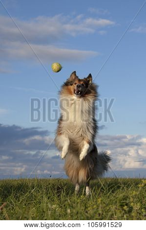 Rough Collie Is Playing With Ball