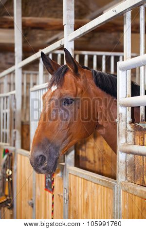 Portrait Of A Brown Stallion In Stable