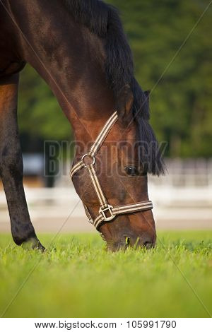 Brown Stallion Grazing In Summer Pasture