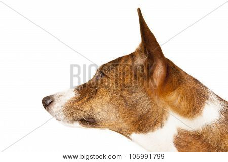 Basenji Dog Isolated On White Background