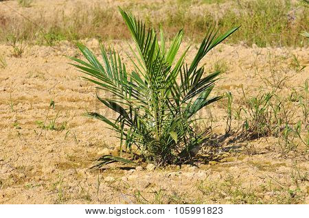 Replanting Palm Oil Tree